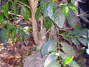 アカネ科の常緑潅木